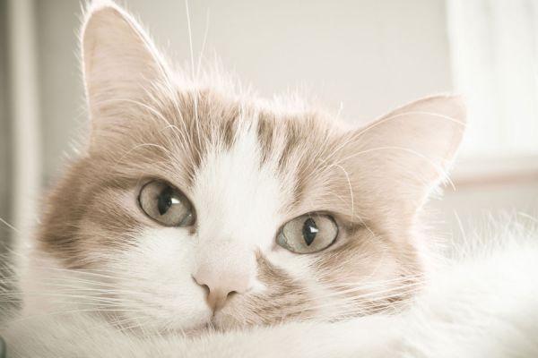 Métodos para saber si el gato tiene fiebre. Cómo detectar fiebre en los gatos. Síntomas de fiebre en los gatos
