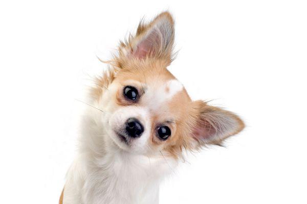 Motivos por los que los perros inclinan la cabeza cuando les hablas. Por qué los perros giran la cabeza?