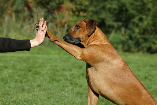 Conducta de los perros al inclinar la cabeza. Por qué el perro inclina la cabeza para escuchar?