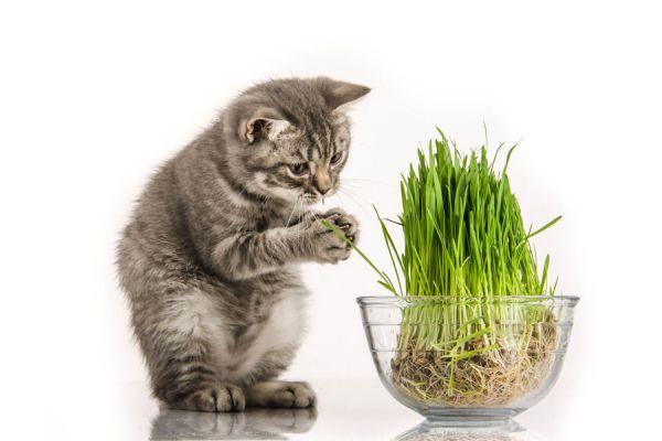 Gato jugando con la hierba gatera