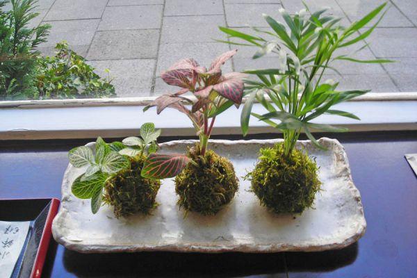 Cómo preparar una orquídea con la técnica de kokedamas. Hacer una kokedama con orquídeas.