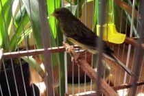 Cómo alimentar un canario