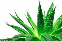 Cómo Cortar las Hojas de Aloe Vera