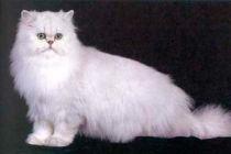 Cómo reconocer a un gato angora turco