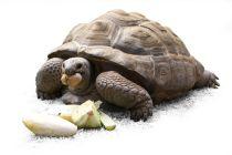 Cómo Alimentar a las Tortugas Terrestres