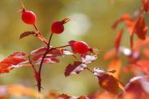 Propiedades y beneficios del té de rosa mosqueta