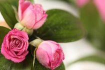 5 recetas para eliminar pulgones de los rosales