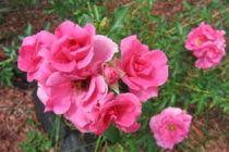 Cómo reconocer los hongos de los rosales