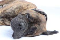 Cómo ayudar al perro a superar la muerte de un familiar