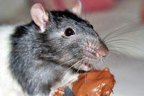 C mo evitar a los roedores en el hogar for Ahuyentar ratas jardin