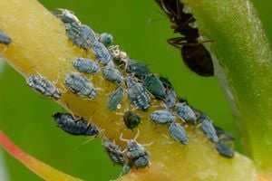 Trucos para Quitar los Pulgones de las Plantas