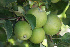 Ilustración de Como cuidar los árboles frutales de los insectos