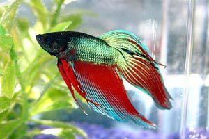 Cómo trasladar los peces de un acuario a otro