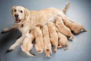 Cómo ayudar a la Perra en el cuidado de los Cachorros Recién Nacidos