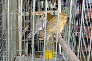 Cómo preparar la jaula de un canario