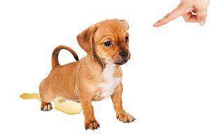 Cómo enseñarle a un Perro a No Orinar dentro de la Casa