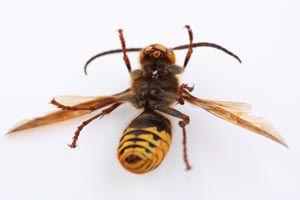 Cómo actuar en el caso de una picadura de abeja o avispa