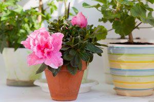 Consejos para cuidar una azalea. Cuidados y mantenimiento de una azalea. Cómo regar, plantar y cultivar una azalea.