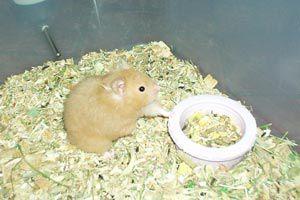 Cómo alimentar a un hámster