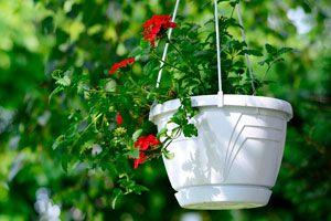 Consejos para cuidar las plantas colgantes. Como regar y cuidar las plantas colgantes. Características y mantenimiento de las plantas colgantes.