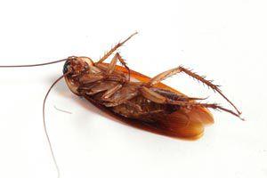 Cómo eliminar cucarachas con un veneno casero