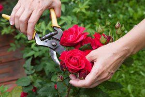 Ilustración de Como hacer para podar los rosales según su tipo