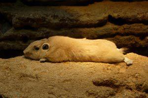 Hámster hibernando