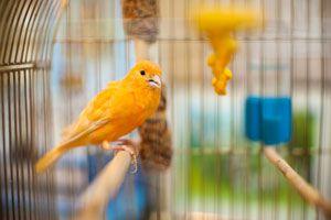 Consejos para Cuidar Canarios