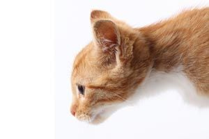 Cómo saber si tu gato es sordo