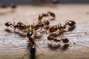 Combate las hormigas con una receta casera