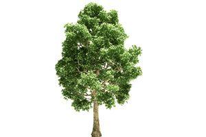 Ilustración de Cómo elegir árboles que crecen rápido
