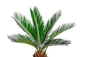 Algunos consejos para plantar palmeras. Cómo cuidar las palmeras a la hora de plantarlas