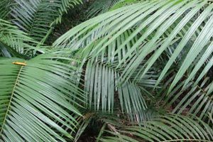 Las palmeras de interior más comunes son el cocotero, la areca, la kenia y la chamaedorea