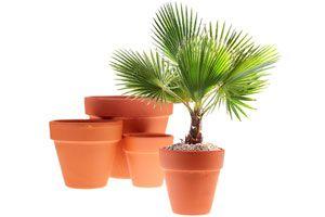 Ilustración de Como regar y abonar palmeras en el interior