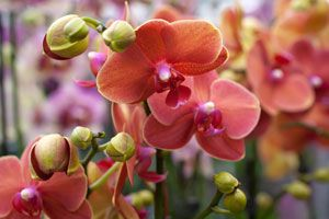 Consejos para cuidar las orquídeas. Tips para un buen cuidado de las orquídeas. Cómo cuidar las orquídeas