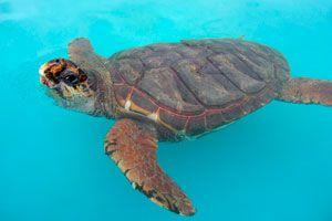 Consejos para cuidar a las tortugas marina o acuáticas. Tips para cuidar, alimentar y mantener sanas a las tortugas acuáticas