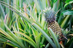 Cómo Cultivar una Planta de Ananá o Piña. Pasos para plantar y cultivar una planta de Piña o Ananá. Cómo plantar el ananá o piña