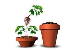 Ilustración de Cómo cambiar de maceta a las plantas