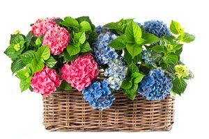 Cómo cuidar las hortensias