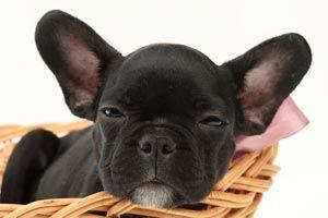 Cómo higienizar las orejas en perros y gatos