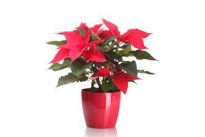 Ilustración de Cómo elegir plantas para regalar en Navidad