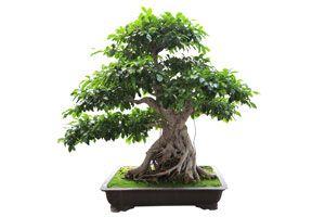 Cómo iniciarse en el mundo de los bonsáis