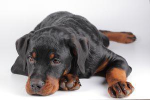 Cómo Cuidar al Perro si Sufre de Piel Seca