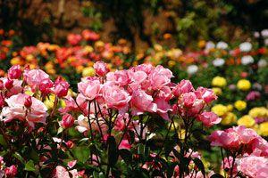 Tips para el cuidado y mantenimiento de los rosales. Como cuidar y plantar rosales. Métodos simples para cuidar de un rosal
