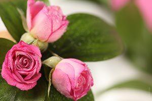 Ilustración de Cómo eliminar pulgones de las rosas