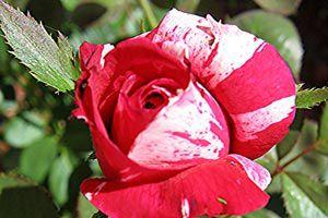 Ilustración de Cómo evitar que los hongos ataquen los rosales