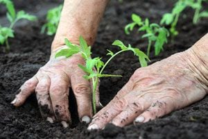 Ilustración de Cómo plantar tomate