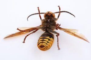 Cómo tratar la alergia a avispas y abejas