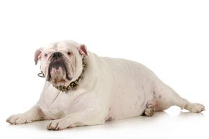 Cómo tratar a una mascota con sobrepeso
