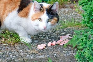 Alimentos que Nunca debes Darle a tu Gato